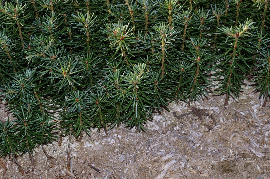 How Long Does It Take A Christmas Tree To Grow.Asack Son Christmas Tree Farm Christmas Tree Seedlings