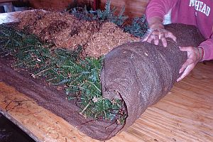 Balsam fir transplants being rolled with wet burlap and sawdust