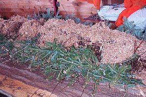 Burito roll of balsam fir tranplants ready to be rolled