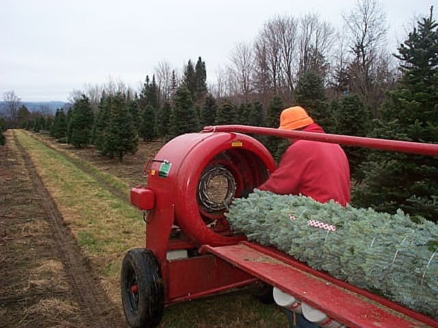 ... Bill Asack Tying off string on top of Wholesale Christmas Trees - Asack & Son Christmas Tree Farm & Christmas Tree Seedlings And