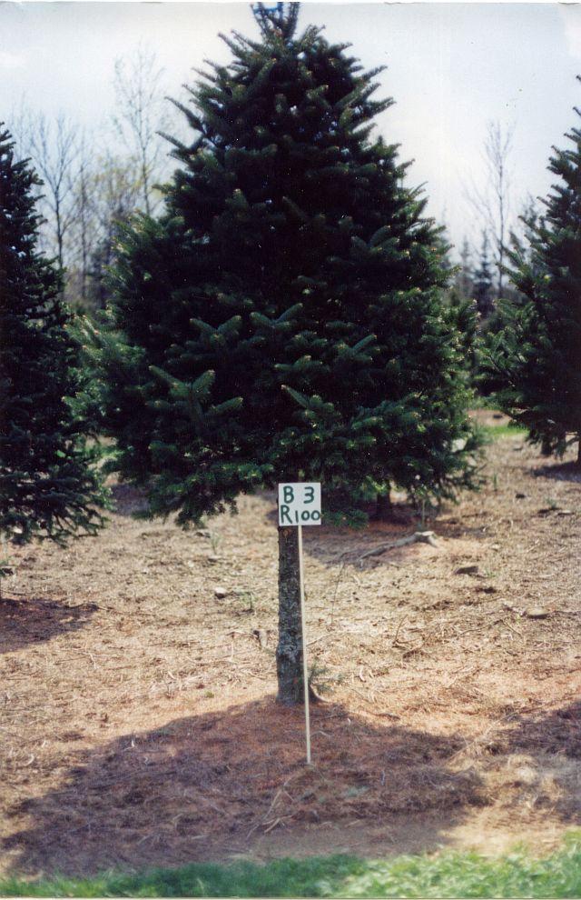 Asack Son Christmas Tree Farm Christmas Tree Seedlings And  - Christmas Tree Seedlings