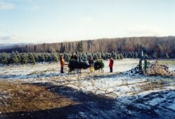Choose & Cut Christmas Tree Customers Pulling up a Christmas Tree to the barn