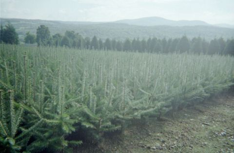 2-2 Balsam Fir Transplants ready to plant